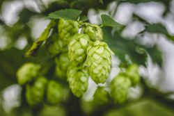 Cascade hop growing