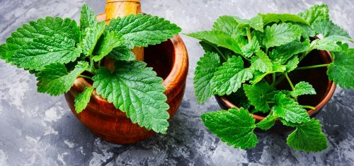 Melissa leaf or lemon balm