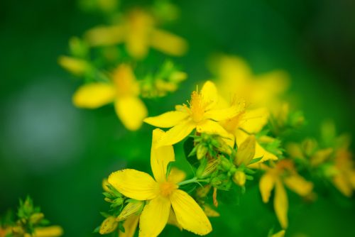 St Johns Wort Plant and Flowers
