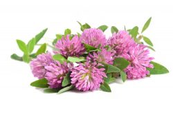 red clover flowers on white background