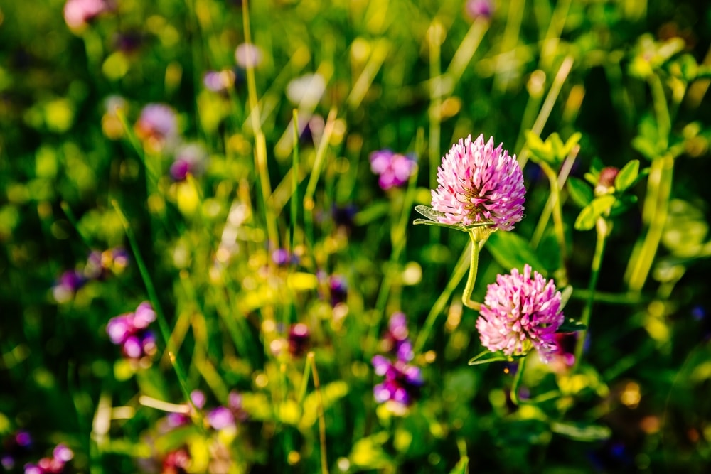 red clover plants in field